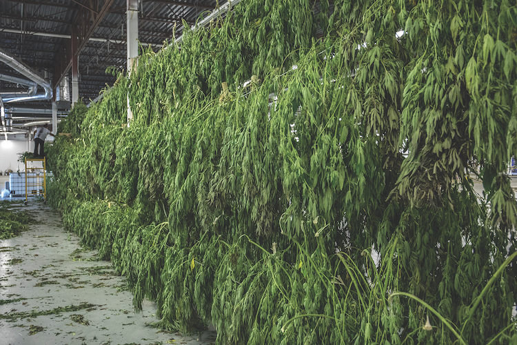 Colorado Hemp Processing Indoor