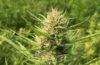 Cannabigerol CGB Cannabinoids in Hemp