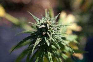 CBD flower, hemp harvest, Montana hemp, small farmers