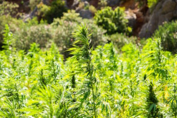California Hemp Legalization