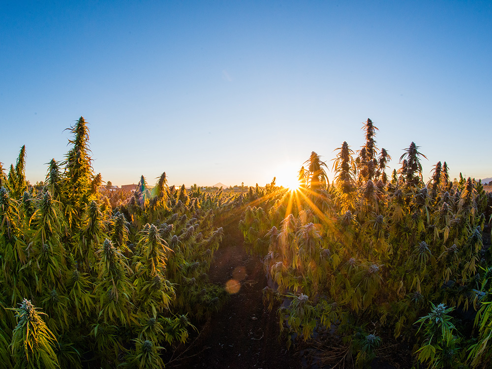Why Oregon's Hemp Is as Exceptional as Burgundy's Wine
